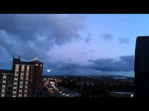 Swarm of birds over the River Lagan, Belfast
