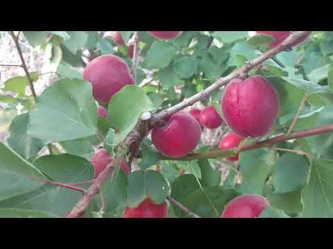 Абрикос Рубиста, первое плодоношение. Нереально красивый сорт! Отзыв и видео от питомника Макси Сад.