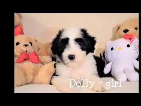 BEARDED COLLIE PUPPIES - 2017 Yvonne's puppies 13