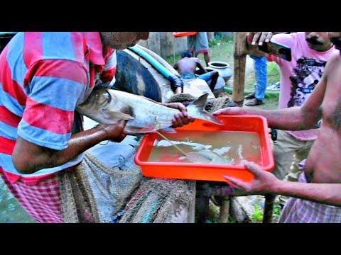 Fish Hatchery Male/Female Fish Breeding System