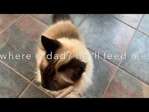 Birman Cat Routine