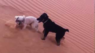 Rottweiler Husky Mix Vs. Shitzu Mix In The Desert