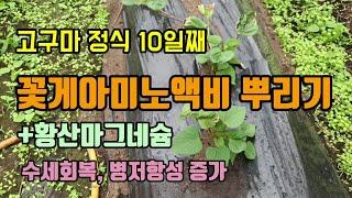 고구마농사 고구마정식10일째 작물이 좋아할 꽃게아미노산…