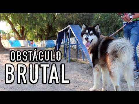 Enseñando a mis perros UN OBSTÁCULO PROFESIONAL - BRUTAL