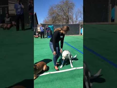 Dog Training with distractions | Dog Training Seminar