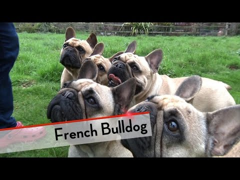 French Bulldog - Best of Breed