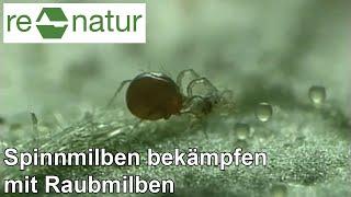 Phytoseiulus persimilis - eine Raubmilbe im Kampf gegen Spinnmilben