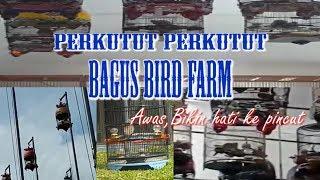 PERKUTUT PERKUTUT BAGUS BIRD FARM