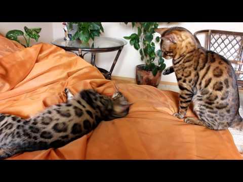 Бенгальская кошка: продажа котят бенгальской породы