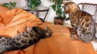 Бенгальские кошки играют