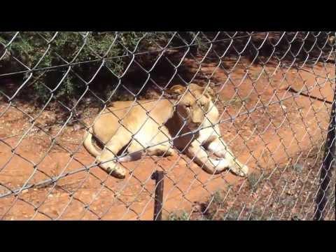 Lion Park in Botswana