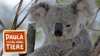 Komm kuscheln Koala! (Doku) |Reportage für Kinder | Paula und die wilden Tiere