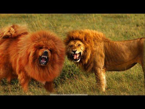 7 Dogs Like Lion