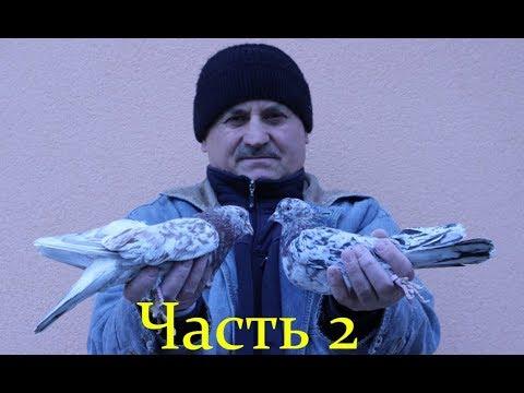 Бакинские бойные голуби .Племенные голуби - Часть 2 /Baku pigeon (Vitalie Stirbu / Кишинёв, Молдова)