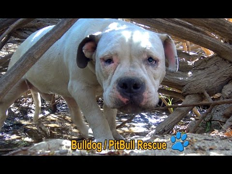 Scared homeless Bulldog / PitBull living in the bushes alone until Hope For Paws arrived!