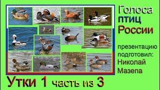 Утки. 1 часть из 3. Голоса птиц России