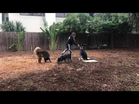Bubba | German Shepherd | Week 2 Obedience