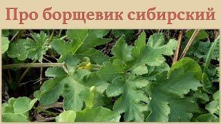 Про борщевик сибирский 4 июня 2013