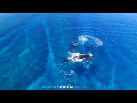 Humpback Whale Fighting Sequence