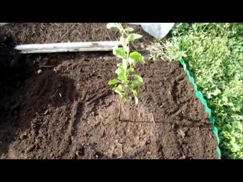 Как правильно посадить яблоню если близко грунтовые воды