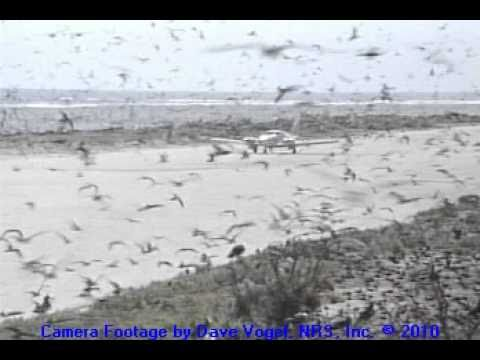 Airplane Landing Among Hawaiian Seabirds
