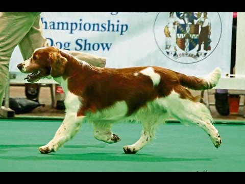 City of Birmingham 2014 - Gundog group
