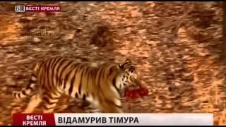 Козел Тимур и Тигр Амур, схватка и ранение.