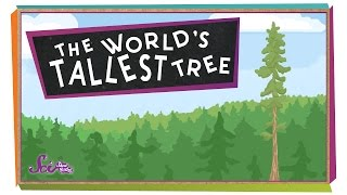 The World's Tallest Tree