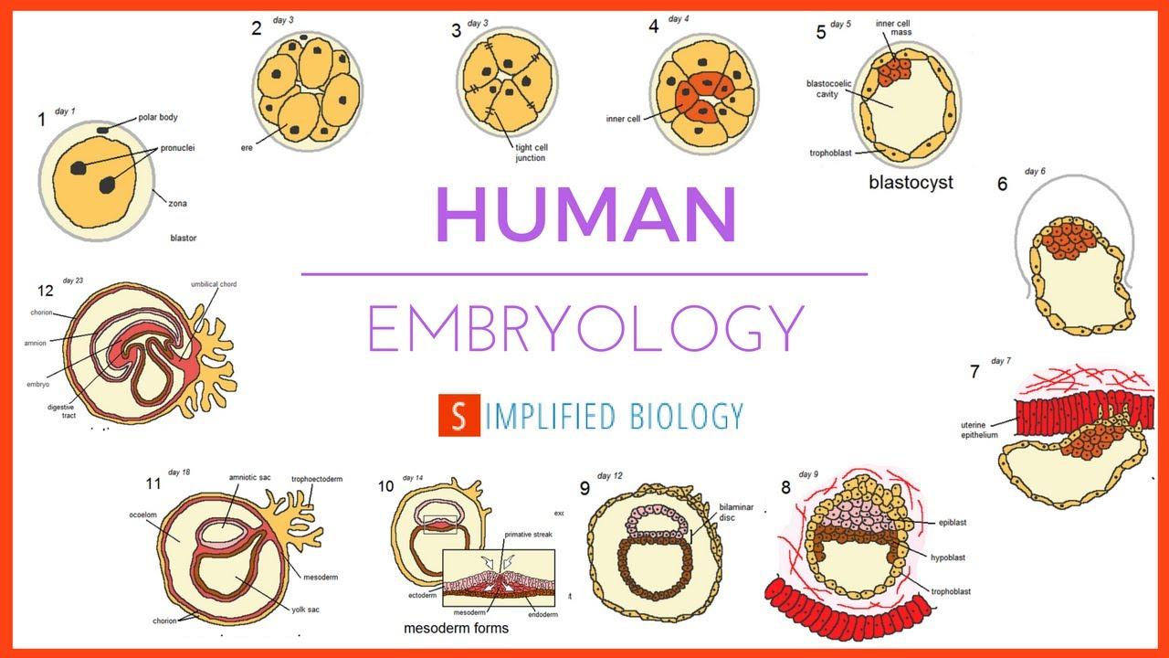 Human Embryology For Neet Aipmt Mcat Aiims Jipmer