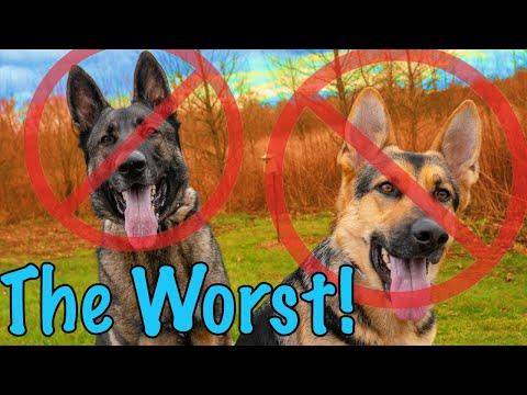 12 Reasons Not to Get a German Shepherd!