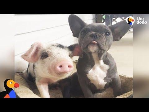 Dogs Raise Orphaned Piglets   The Dodo Odd Couples