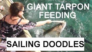 Giant Tarpon Feeding & Paradise Found at Virgin Gorda - Sailing Doodles Ep. 29