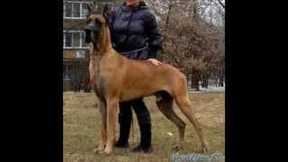 Most Dangerous Dogs Ever (top 10) Pitbull,doberman,caucasian,bullmastiff,mastiff,corso,guard, Dogs,
