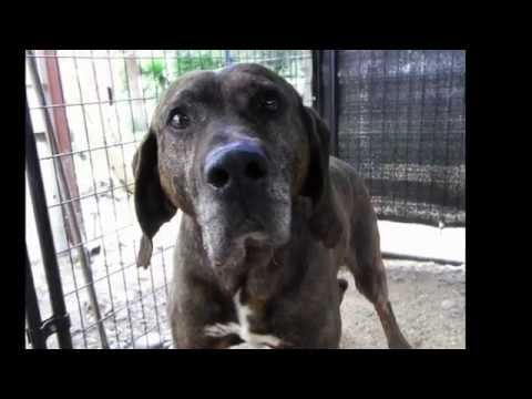 Ernest The Hound - Rescue by Animal Advocates Society of BC