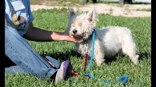 Brutus, An Adorable 10- To 12-year-old Westie For 501(c)(3) Rescue In Manahawkin, Nj