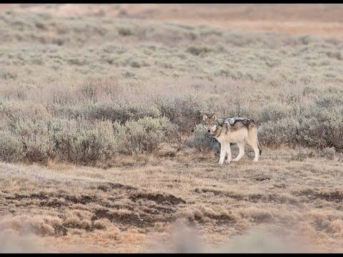 Wolf Pup of the Wapiti Lake pack in Yellowstone