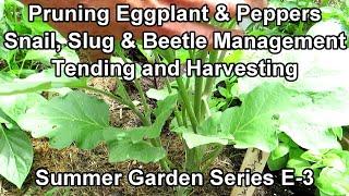 Planting My 'Summer Garden' E-3: Pruning Eggplants & Peppers, Slug & Beetle Control, Radish Harvest