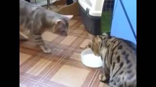 Добрые кошки