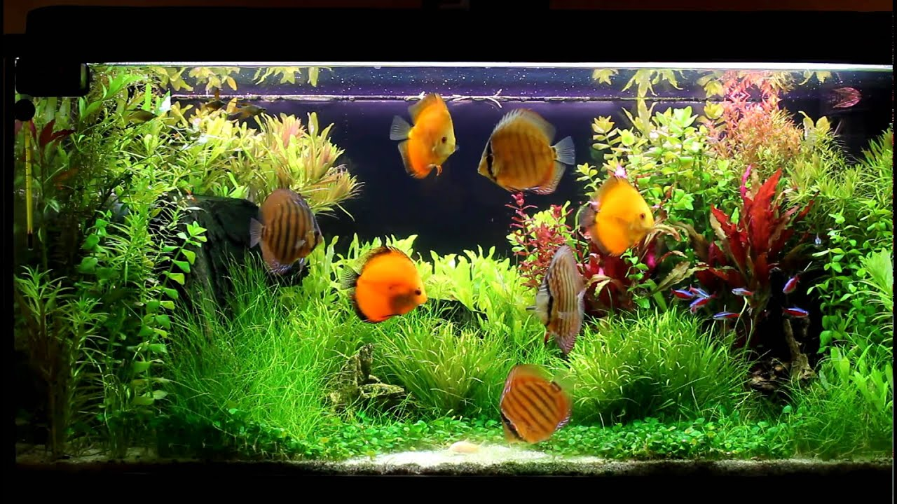 Discus planted tank 180l 1080p youtube for Fish and plant tank