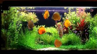 Discus planted tank 180L (1080p)