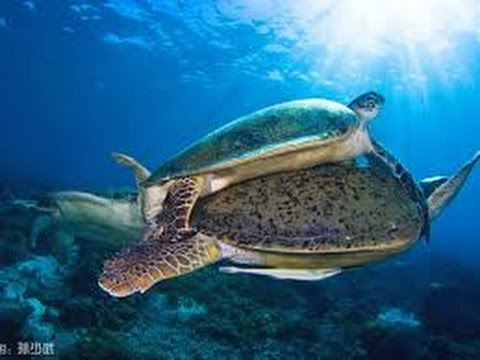 Sea Turtles Documentary HD - hidden secretes of the flying sea turtles national