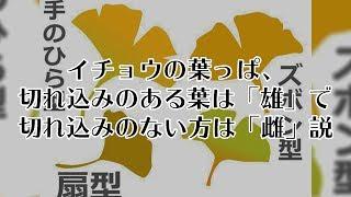 【お天気雑学】イチョウの葉っぱ、 切れ込みのある葉は「雄」で 切れ込みのない方は「雌」説