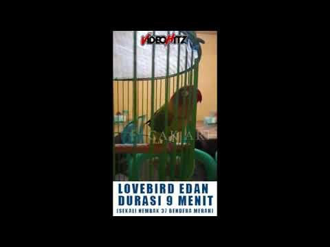 LOVEBIRD RAJA BRANA ( CALON THE KING OF LOVEBIRD ) DURASI 9 MENIT