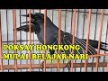 Burung Poksay Hongkong Gacor Sambil Menari  Mp3 - Mp4 Download