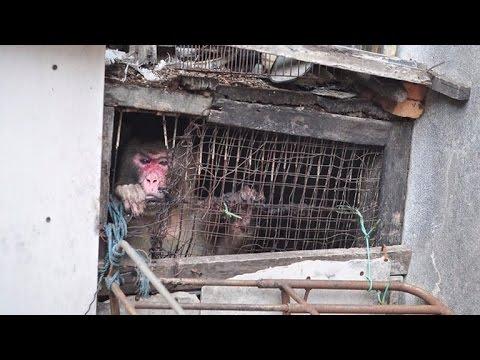 monkey-gets-freed-after-spending-25-years-in-dark-hole-between-buildings