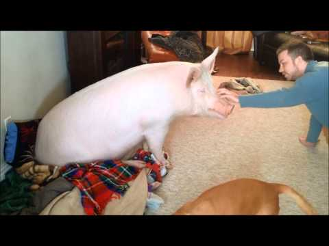 Esther the Wonder Pig Playing with Derek