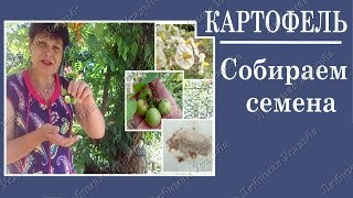 Как собрать семена картофеля. Как хранить семена картофеля
