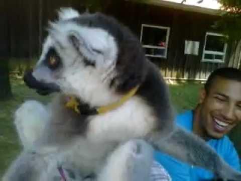 Lemur Grooms Me