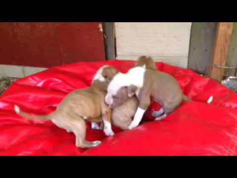 PUREbred FULL-blooded RED NOSE pit pitbull puppies, brindle, female puppy, PITS $250, 706 528 0513