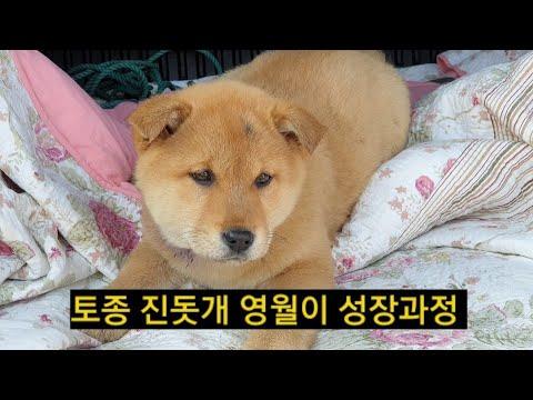 [36] 토종 진돗개 황구 영월이 성장과정